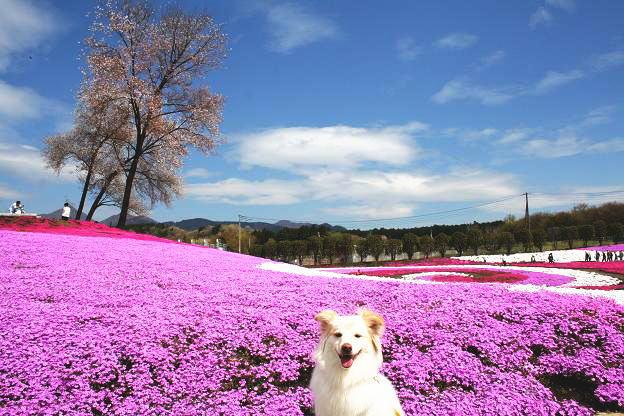 4.21モコと芝桜13
