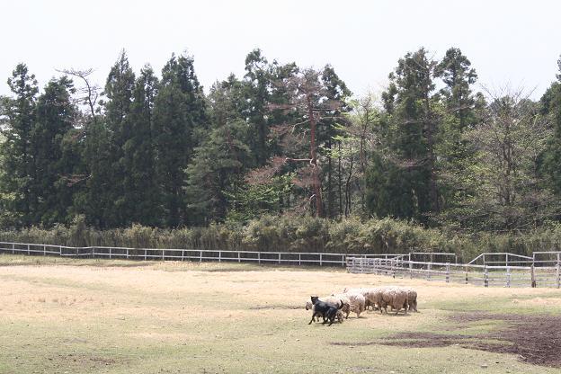 4.21羊追い