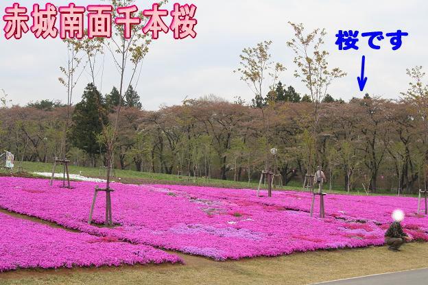 4.21赤城南面千本桜