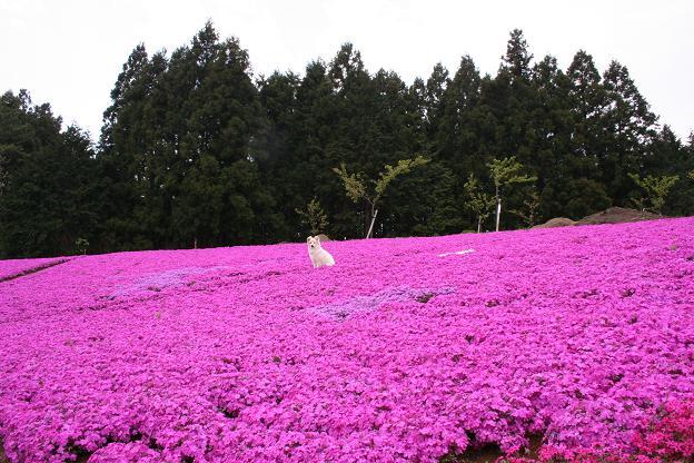 4.21ピンクの絨毯