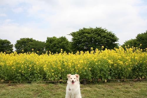 4.25菜の花とモコ2