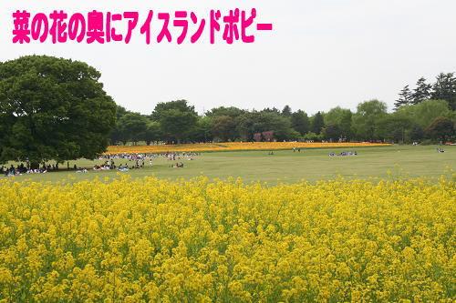 4.25菜の花とポピー