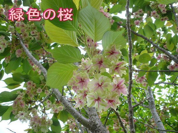 5.4桜?