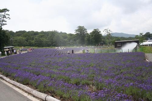 8.1ラベンダー畑