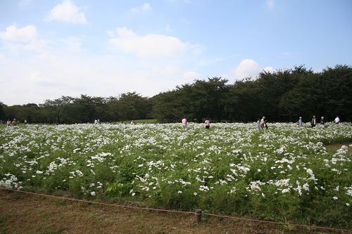 10.10原っぱ東花畑