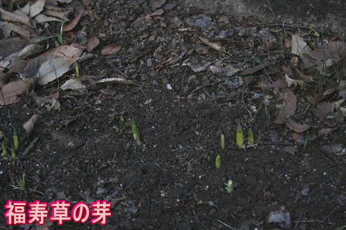 1.6福寿草の芽