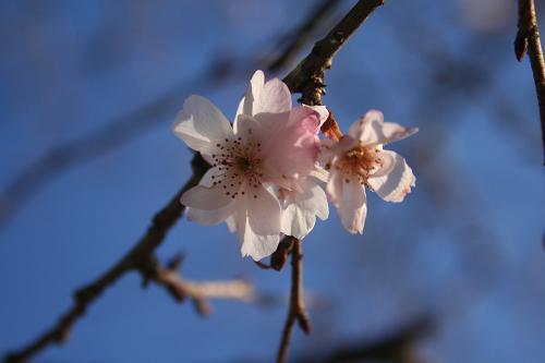 1.7早咲きの桜