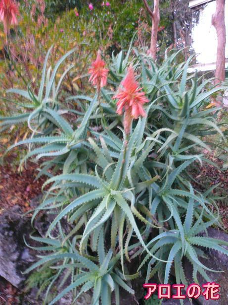 1.7アロエの花