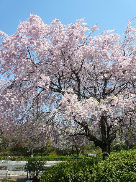 4.11桜3