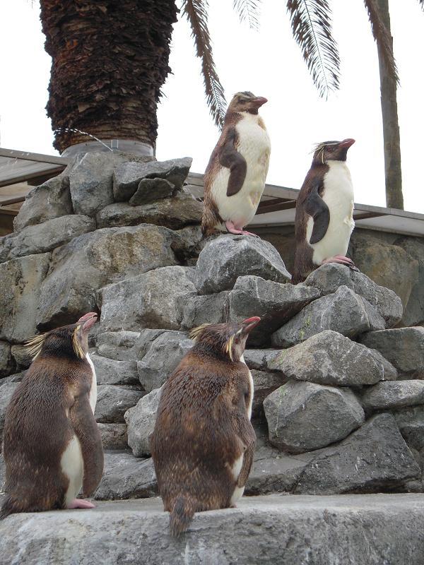 7.4イワトビペンギンさん