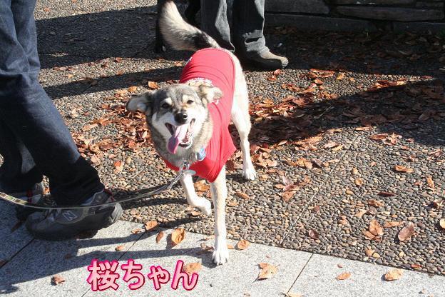 11.15桜ちゃん