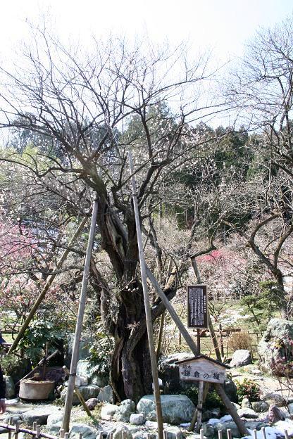 3.12鎌倉の梅