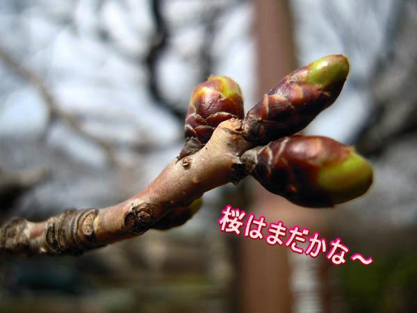 3.15桜のつぼみ