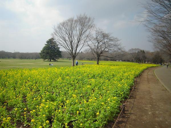 3.18菜の花畑