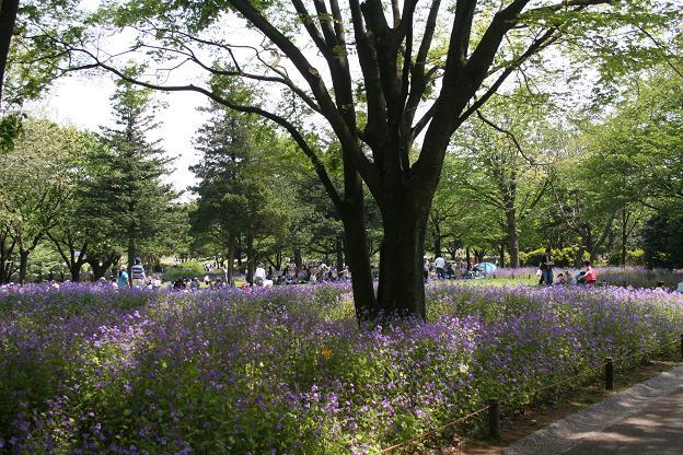 5.3紫大根の花