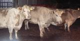 農場の牛×3