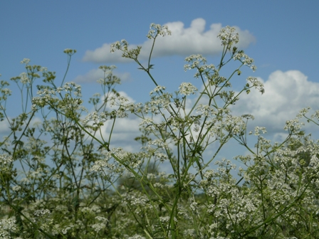 cow parsley up