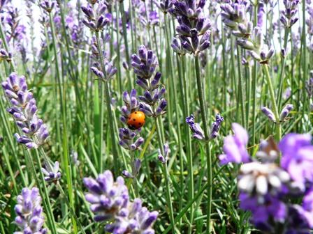 Lavender & ladybird