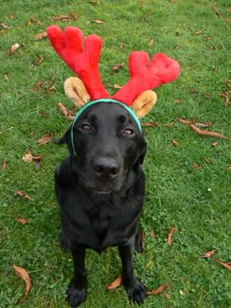 Reindeer Felix 1