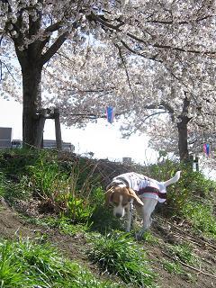 桜満開2.jpg