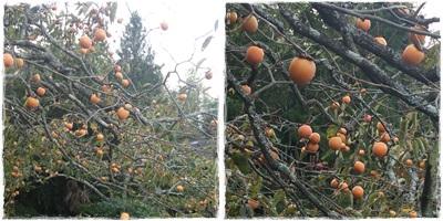 10月6日 柿