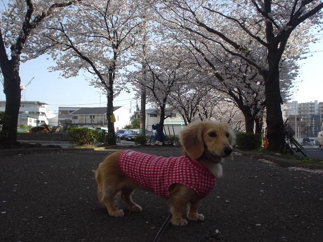 桜並木2.jpg
