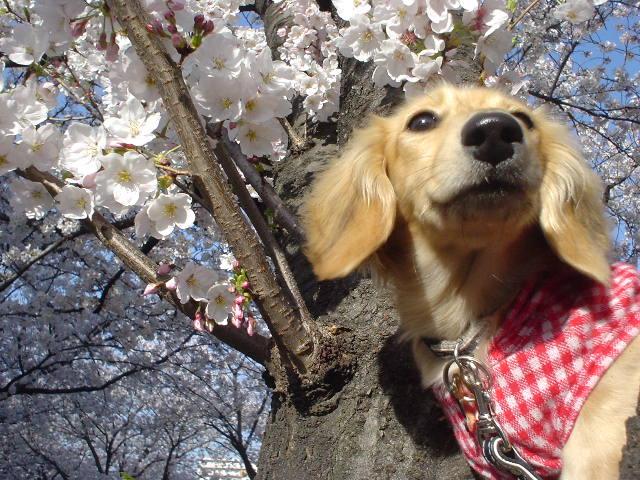 桜並木6.jpg