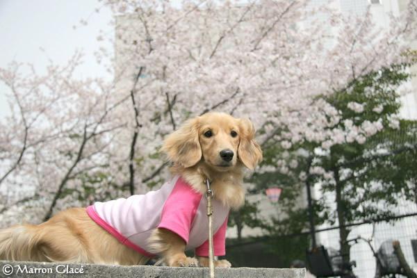 060410桜満開!