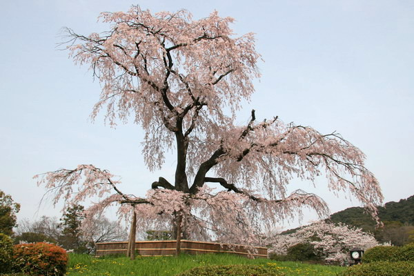 060410円山公園の桜