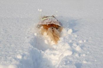070109雪の公園を走るマロン4