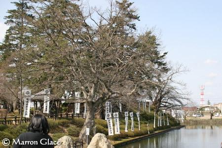 070406米沢今日現在の桜