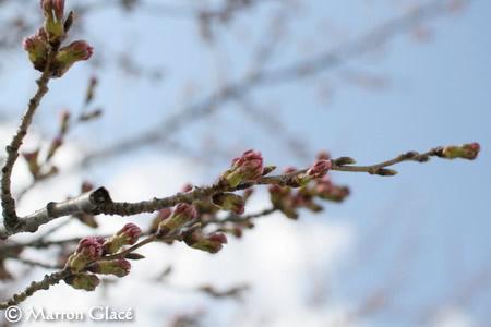 070412桜のつぼみ