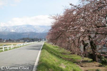 070420最上川河川敷の桜