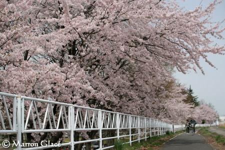 070425河川敷の桜