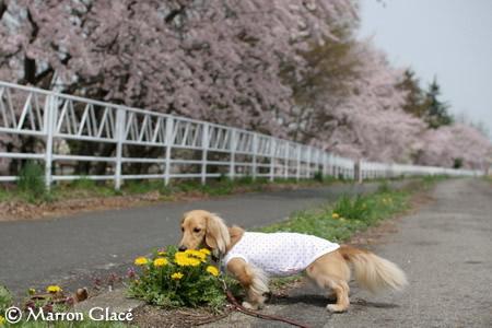 070425たんぽぽと桜とマロン♪