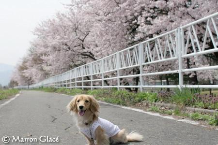 070425桜とマロン♪