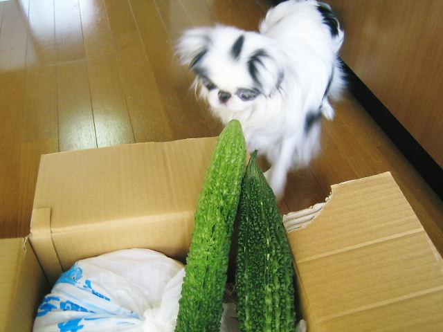 ゴーヤ犬1