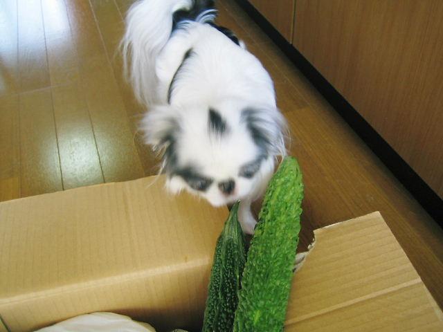 ゴーヤ犬2