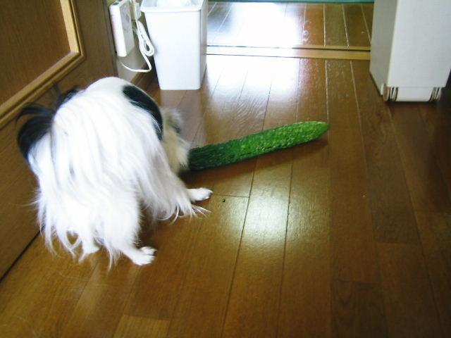 ゴーヤ犬7
