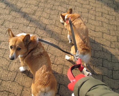 多頭引きリードで散歩.JPG