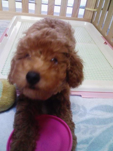 フリスビー犬☆あずき