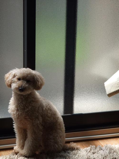 リビングの窓の前でまどろむロム