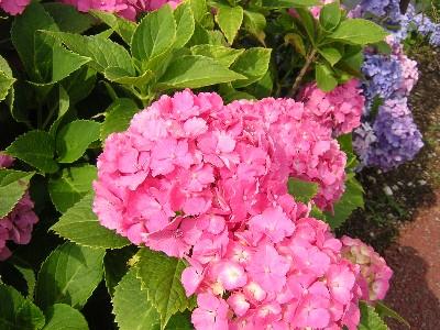 紫陽花(ピンク)�