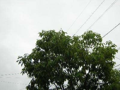 ドングリの木