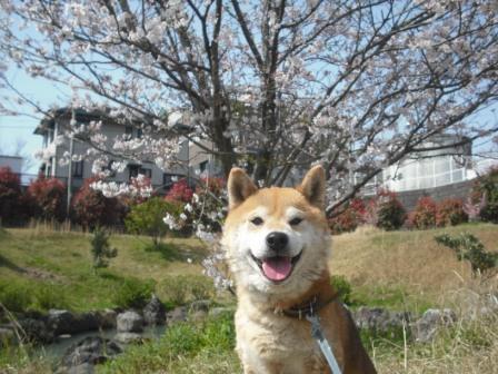 中央公園の桜とノア1