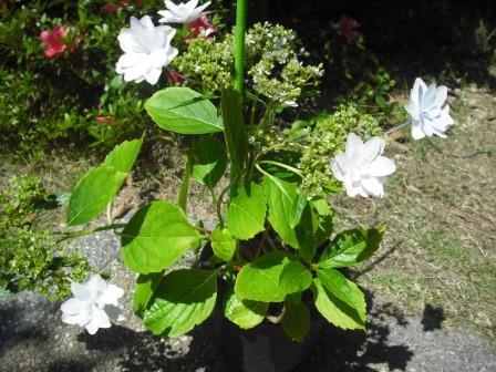 うちの紫陽花
