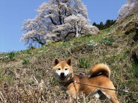 ひょうたん桜とノア