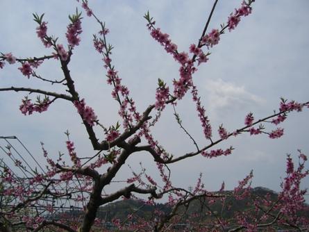 これが大好きな桃の花!