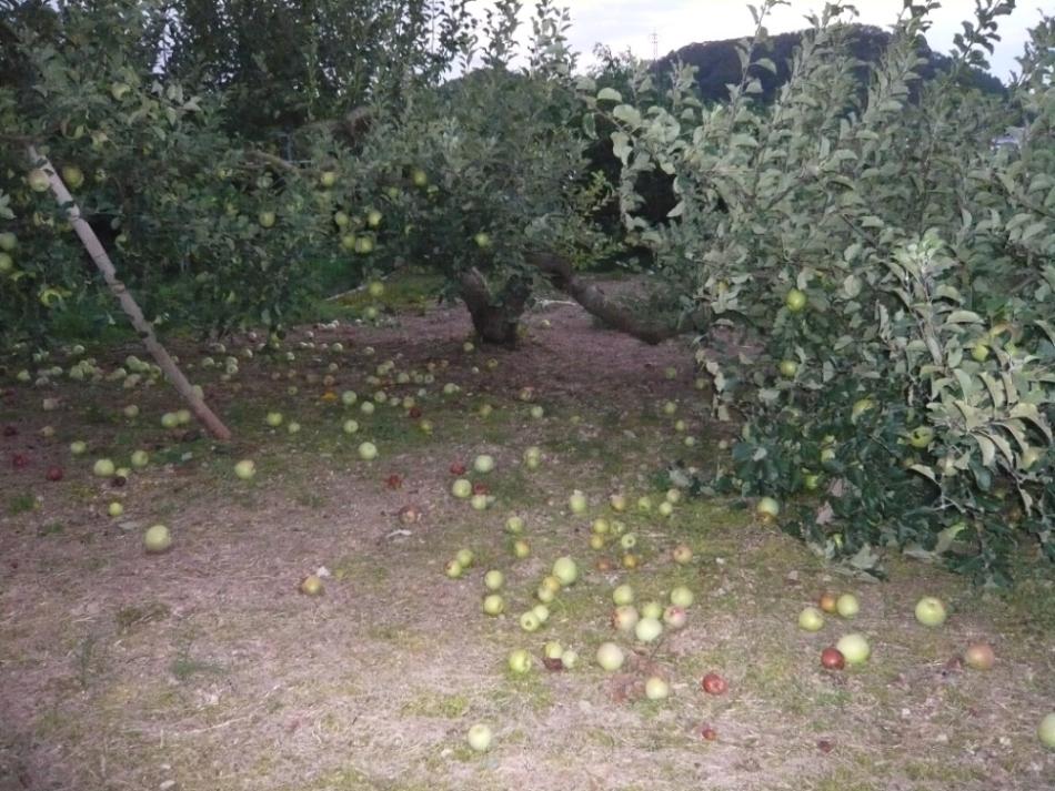 リンゴが・・・!!
