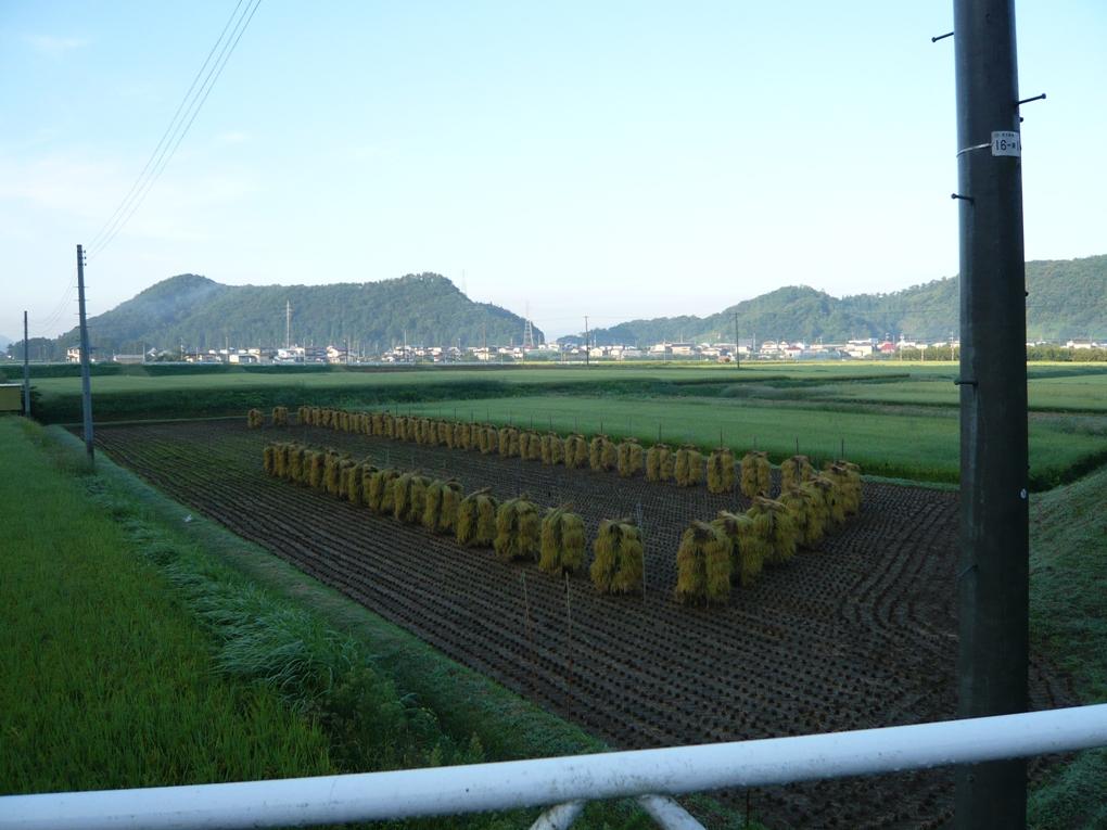 稲刈りしてるぅ〜☆
